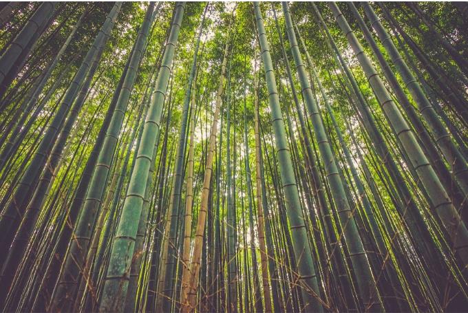 Científicos brasileños inventaron la forma de conducir electricidad con bambú